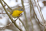 Yellow-breasted-chat-2-120610-Westham-Island_0900.jpg