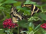 butterfliesfinal.jpg