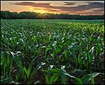 cornfield-2.jpg