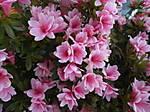 en_ST700_05_Pink_Flowers.JPG