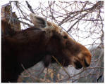 moose_no_rack_640.jpg