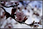 spring_blossom.jpg