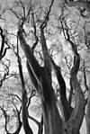 treebw1.jpg