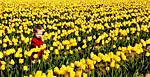 tulips3croppedforphotoreviewfaceand-crop.jpg