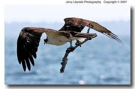 Big bird with a big stick
