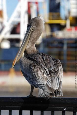 One standing pelican