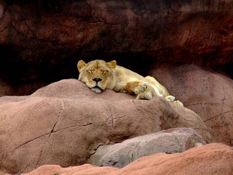Let Sleeping Lion Chicks Lie
