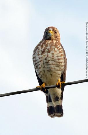 A resting hawk