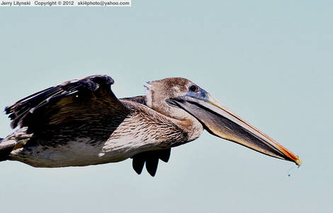 Close to a flying pelican