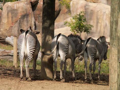 Shy Zebras