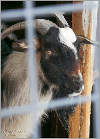 Goat - Wheeler Historic Farm