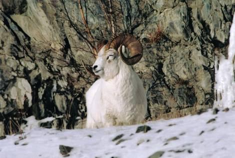 Dall Sheep Asleep