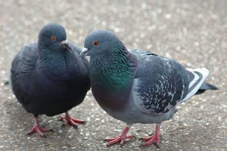 Stray Pigeons