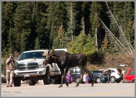 Why Did The Moose Cross The Road?