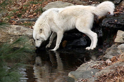Atka - The Dispersing Wolf