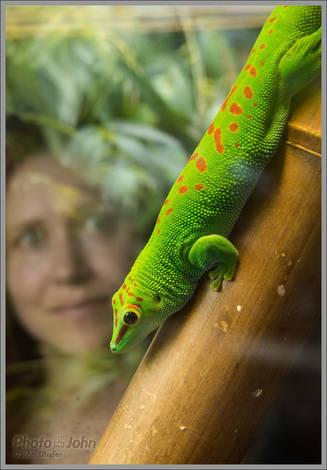 Chameleon - California Academy of Sciences