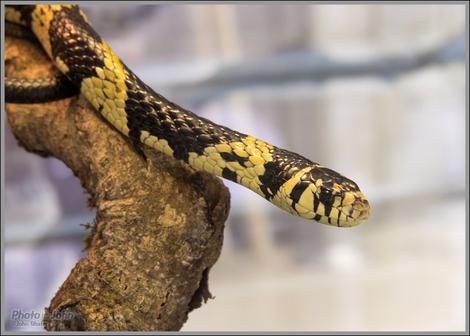 Funky Snake