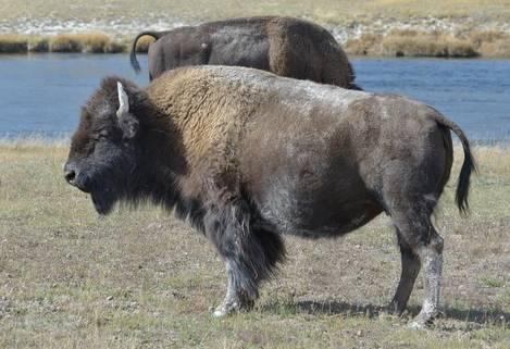 Bison at River