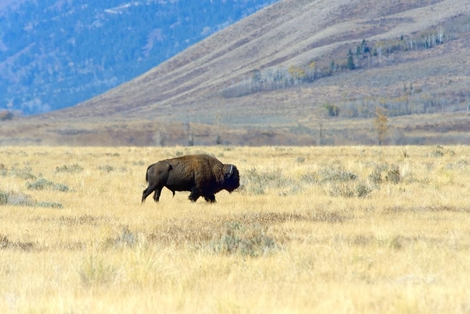 Bison_in_Meadow_ARC_0770_web_1000
