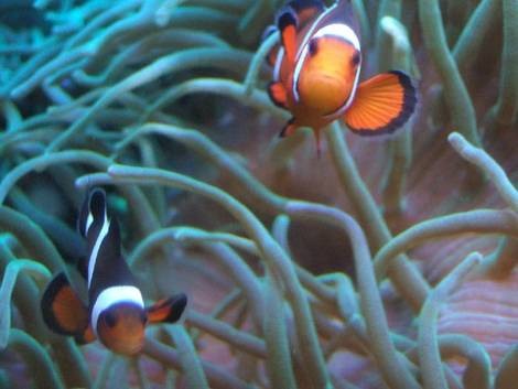 Bubble-Tip Anenome with Clownfish