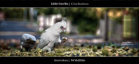 Australian Cockatoo