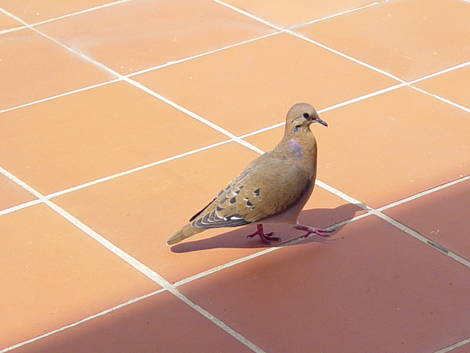 A DOVE ON THE ISLAND OF ST. LUCIA - 1.