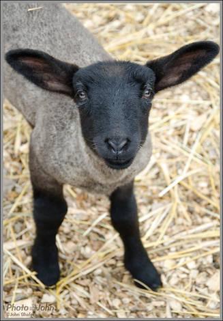 Curious Lamb - Wheeler Farm