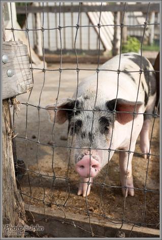 Pig - Wheeler Historic Farm