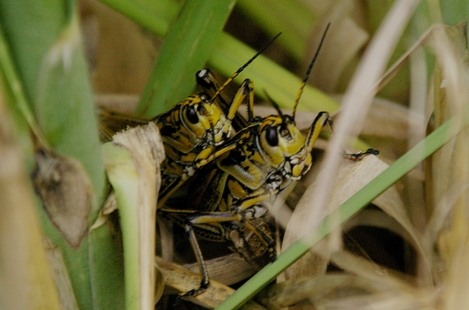 Intimate Grasshoppers