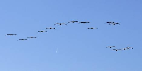 High Flyer and Pelicans