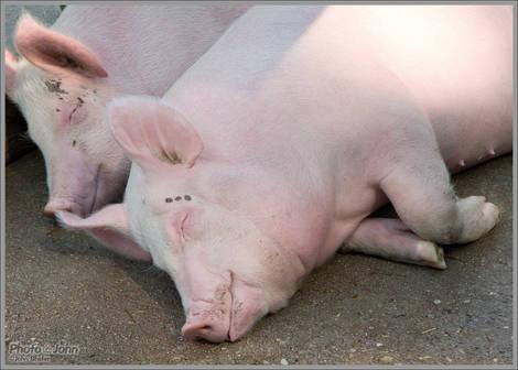 Happy Pigs - Wheeler Farm