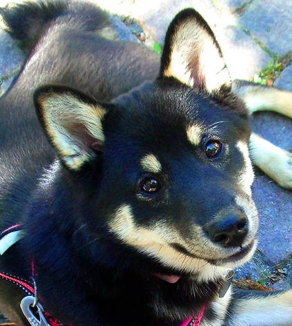 Lisa -Shiba puppy