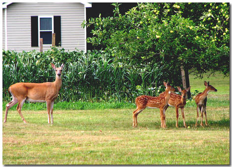 AN EASTERN WHITE-TAILED DEER - DOE AND THREE FAWNS