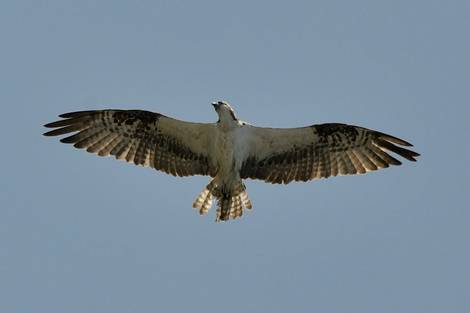 Osprey Searching
