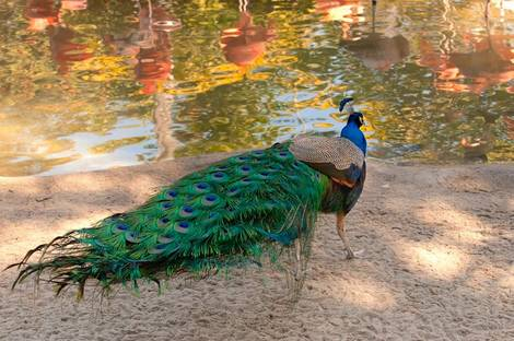 Peacock and Flamingos