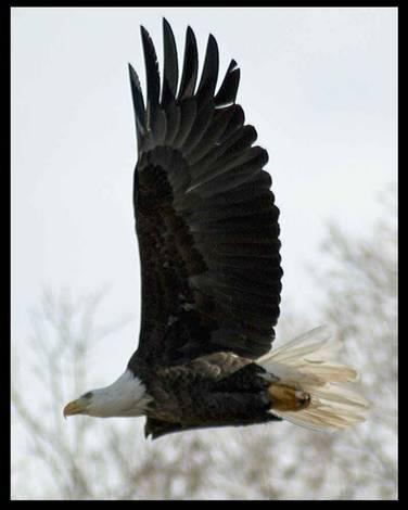 Bald Eagle Flyby