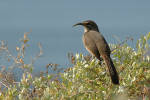 241006California_Thrasher_c_30_s.jpg