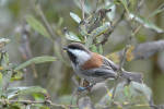 241006Chestnut-backed_Chickadee_25_s.jpg