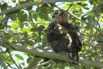 241006Great_Horned_Owl_1_-_s.jpg