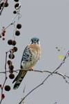 241006One_Legged_Kestrel_-_s.jpg