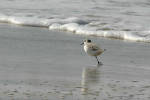 241006Sanderling_With_One_Leg_35_s.jpg