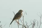 241006Savannah_Sparrow_20_s.jpg