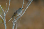 241006White_Crowned_Sparrow_35_s.jpg