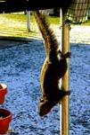 247468SQUIRREL_ON_A_ONE_AND_ONE_QUARTER_INCH_ELECTRICAL_CONDUIT.jpg