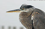 4_F_058_D200_VR80_I-400_10Jan14_Okaloosa-Is_Fog_Heron_sgc699.jpg