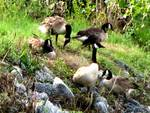 CANADA_GEESE_WAITING_OUT_THE_FLOOD_WATERS.JPG