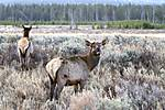 Elk_Grazing_JRE8660.jpg