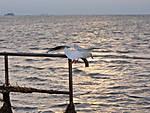 Flying_Gull.jpg