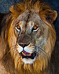 Lion_s.jpg