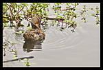 Miss_Duck.jpg